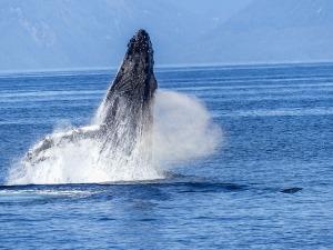 humpback-whale-431904_640