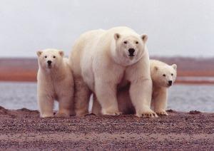 polar-bear-674001_640