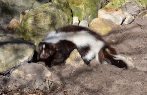 skunk-687964_640
