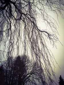weeping-willow-385808_640