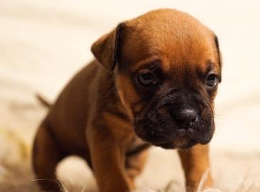 puppy-384647_640
