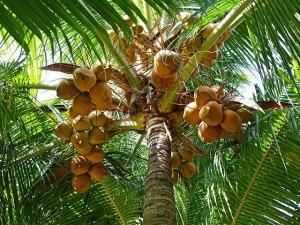 coconuts-892580_640 (2)